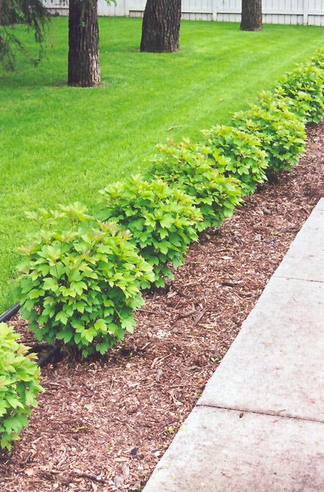 Compact European Cranberry Viburnum Opulus 39 Compactum