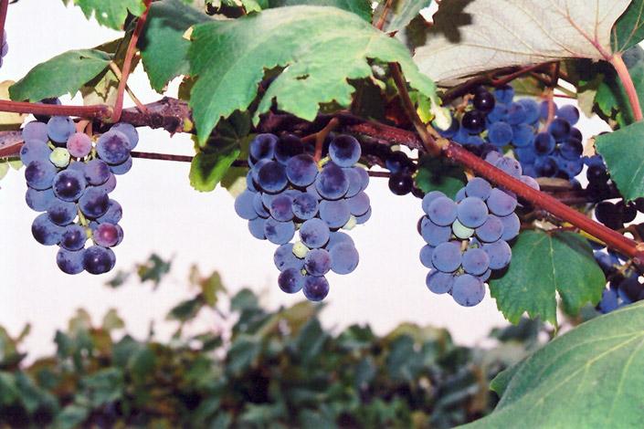 Concord Grape Vitis Concord In Denver Arvada Wheat Ridge