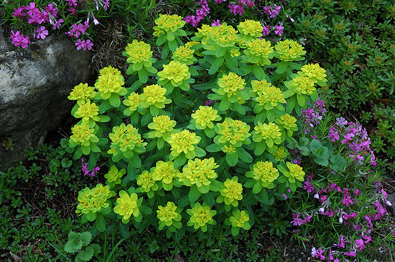 Cushion Spurge (Euphorbia Polychroma) At Echteru0027s Nursery U0026 Garden Center