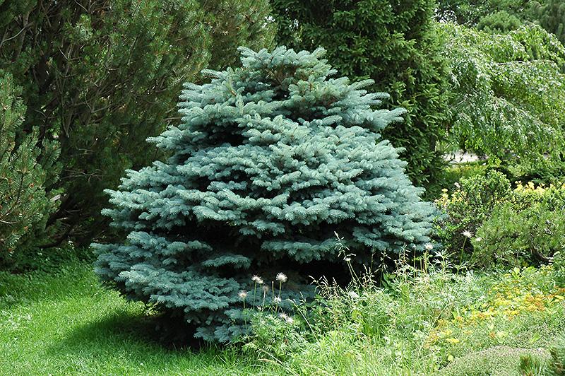 Globe Blue Spruce Picea Pungens Globosa In Denver
