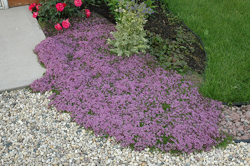 Merveilleux Red Creeping Thyme (Thymus Praecox U0027Coccineusu0027) At Echteru0027s Nursery U0026 Garden  Center