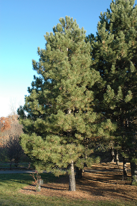 Austrian Pine Pinus Nigra In Denver Arvada Wheat Ridge