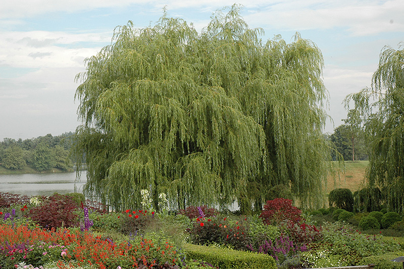 Golden Weeping Willow Salix Alba Tristis In Denver