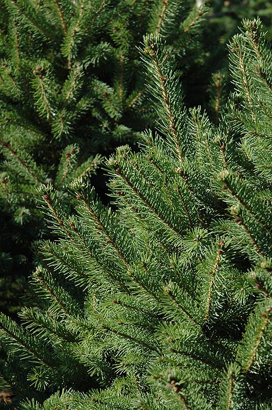 North Star Spruce Picea Glauca At Echter S Nursery Garden