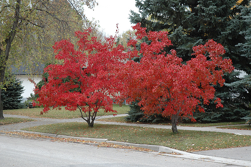 Flame Amur Maple Acer Ginnala Flame In Denver Arvada