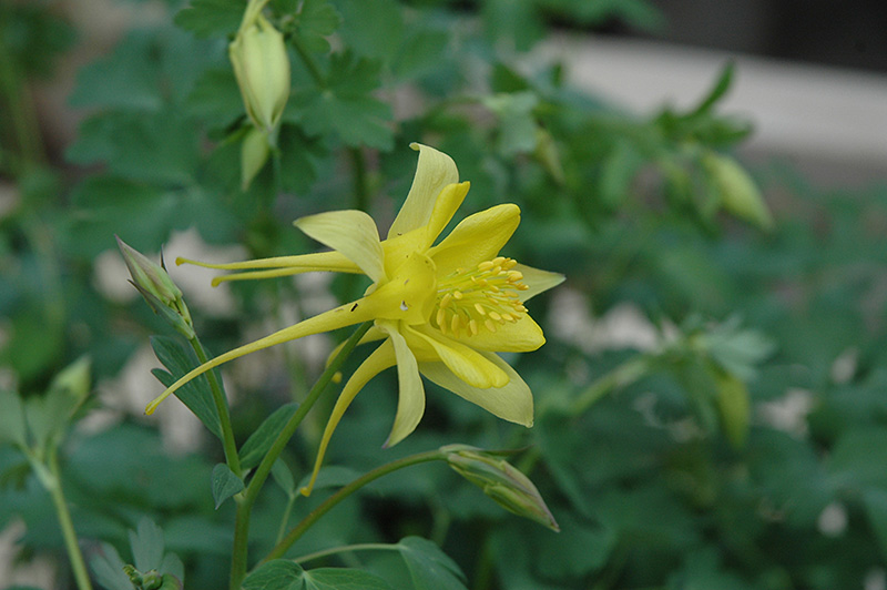 Denver Gold Columbine Aquilegia chrysantha Denver Gold in