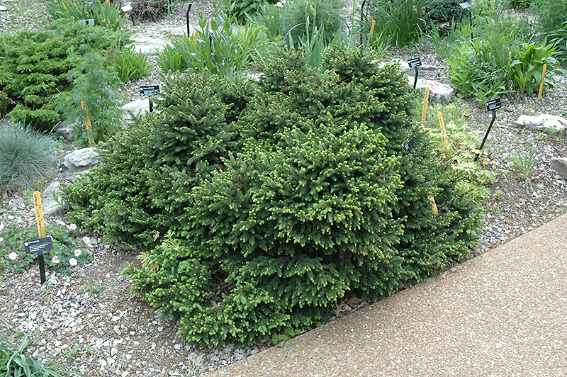 Click to view full size photo of pumila norway spruce picea abies