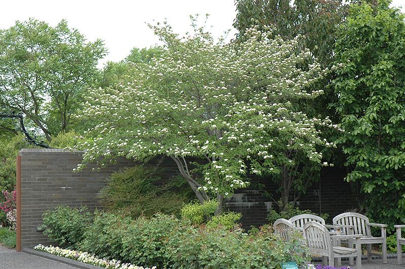 Stellar Pink Flowering Dogwood Cornus Stellar Pink In