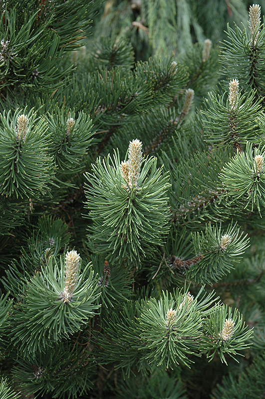 Oregon Green Austrian Pine Pinus Nigra Oregon Green In