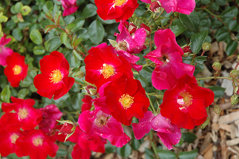 Flower Carpet Red Rose Rosa 39 Flower Carpet Red 39 In