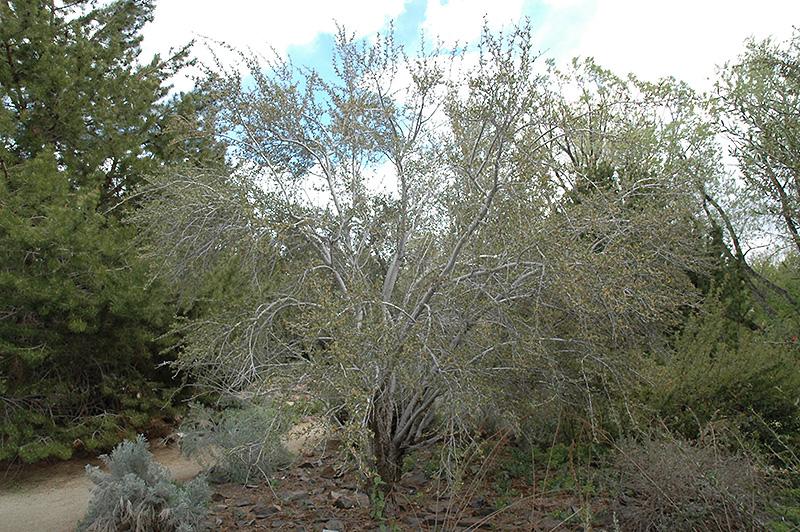 Mountain Mahogany Cercocarpus Ledifolius In Denver