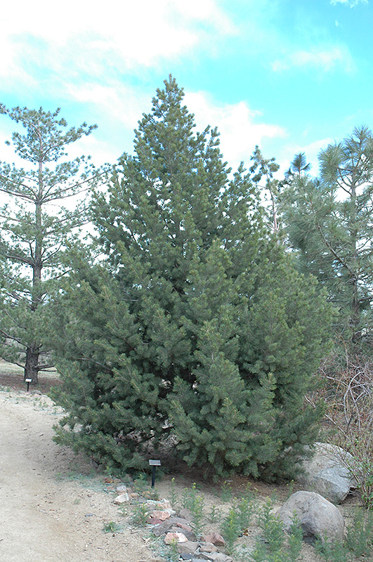 Pinyon Pine Pinus Edulis In Denver Arvada Wheat Ridge