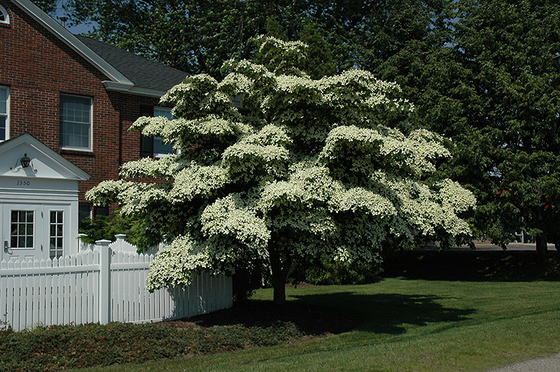 Chinese Dogwood Cornus Kousa At Echter S Nursery Garden Center
