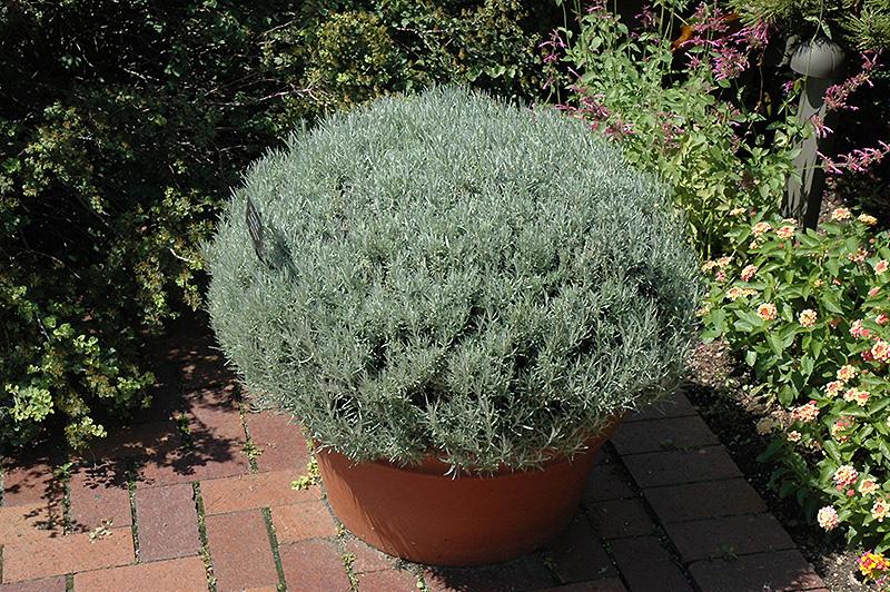 Curry Plant Helichrysum Italicum In Denver Arvada Wheat