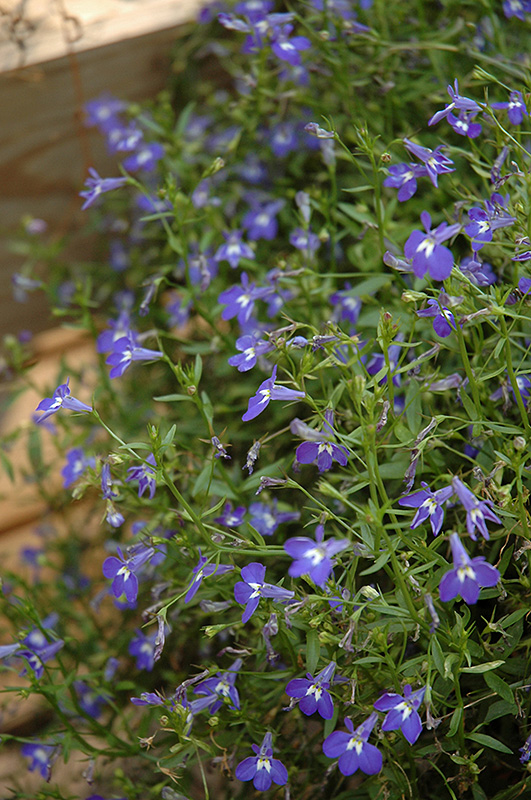 Magadi Blue Lobelia Lobelia Erinus Magadi Blue In Denver Arvada