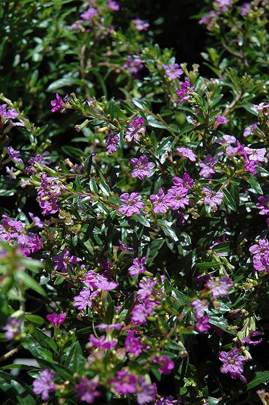 Purple False Heather Cuphea Hyssopifolia Purple In