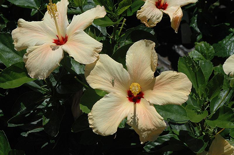 Single Peach Hibiscus Hibiscus Rosa Sinensis Single Peach In