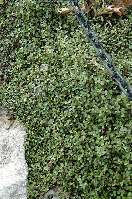 Florida Ground Cover Plants