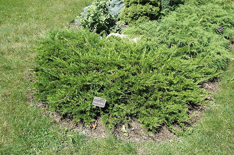 Buffalo Juniper Juniperus Sabina 39 Buffalo 39 In Denver