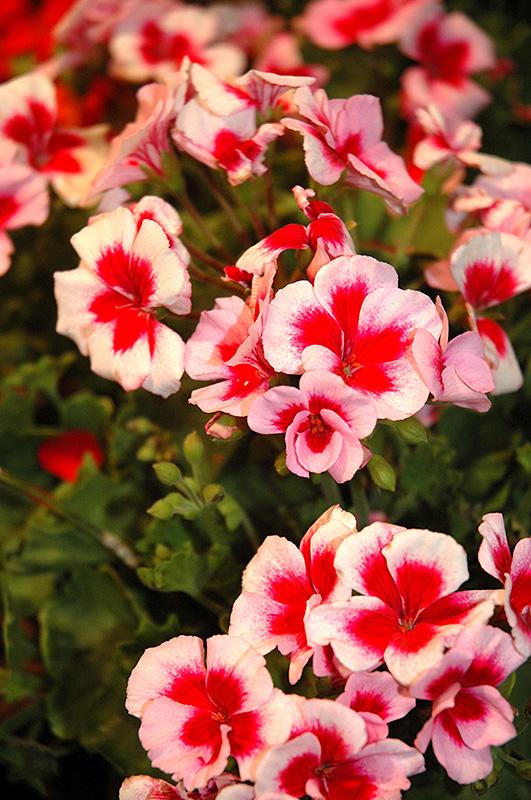 americana rose mega splash geranium  pelargonium