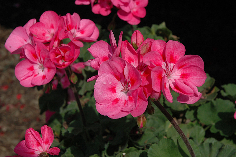Savannah pink geranium pelargonium savannah pink in denver savannah pink geranium pelargonium savannah pink at echters nursery garden center savannah pink geranium flowers mightylinksfo
