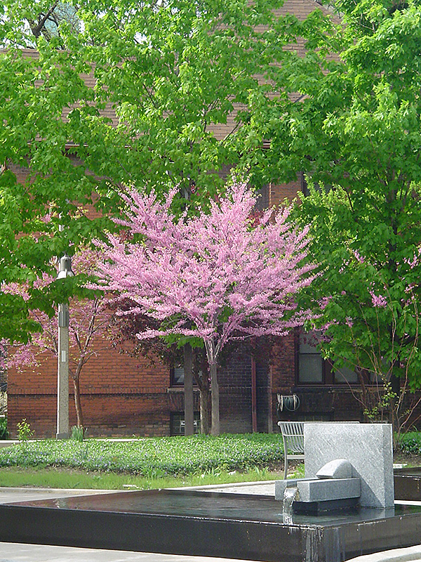 Eastern Redbud Tree Form Cercis Canadensis 39 Tree Form