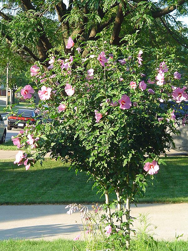 Aphrodite Rose Of Sharon Hibiscus Syriacus 39 Aphrodite