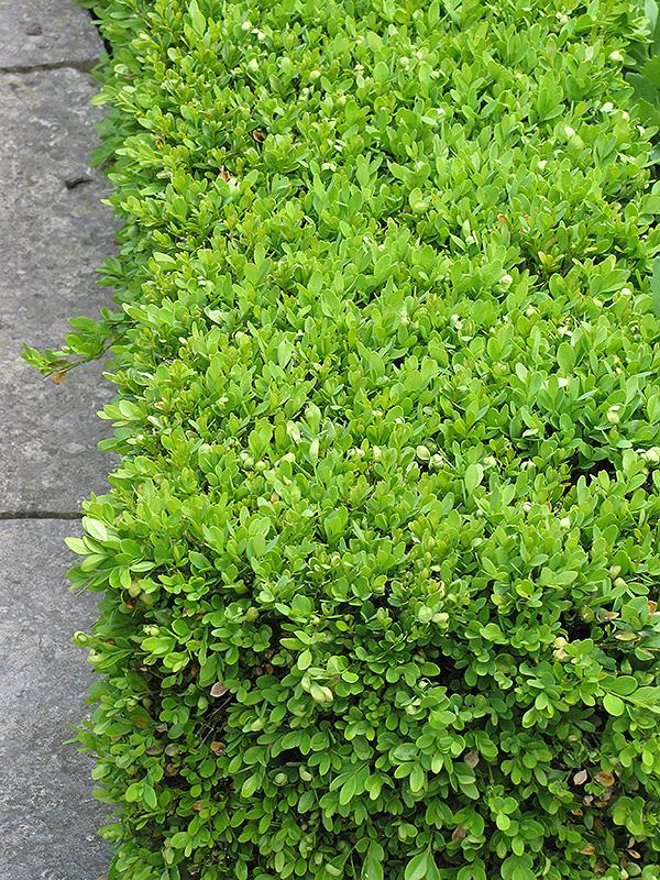 Green Velvet Boxwood Buxus 39 Green Velvet 39 In Denver