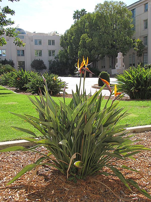 Orange Bird Of Paradise Strelitzia Reginae At Echter S Nursery Garden Center