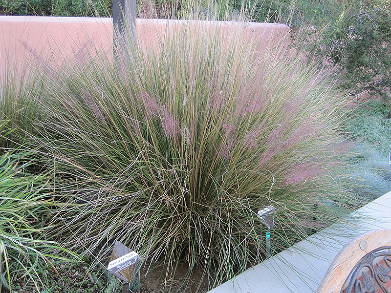 Ornamental Grasses Colorado Pink muhly grass muhlenbergia capillaris pink muhly in denver pink muhly grass workwithnaturefo