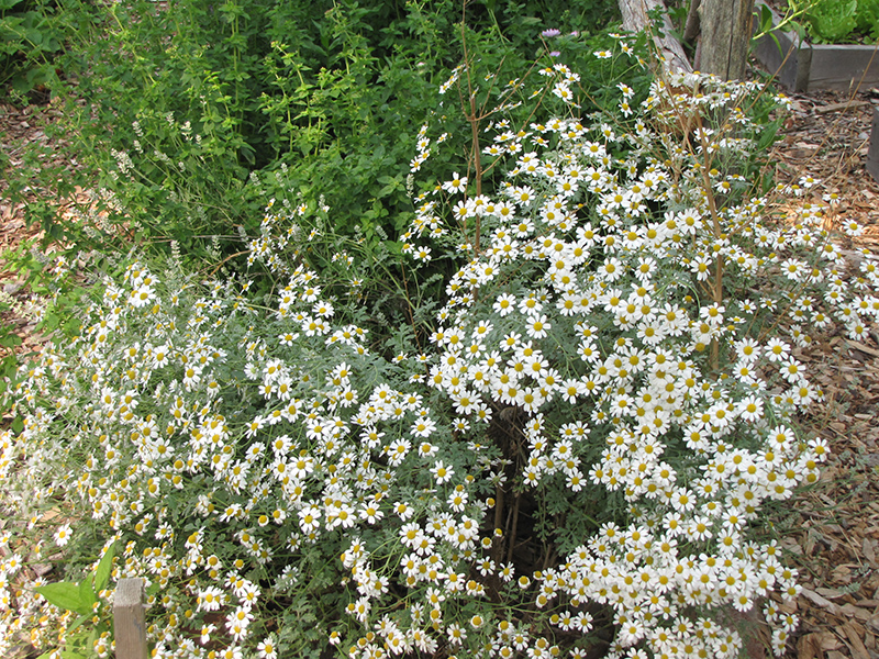 Chamomile (Matricaria recutita) in Denver Arvada Wheat Ridge Golden ...