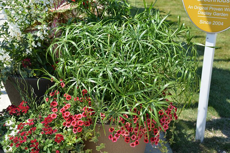 Baby Tut Umbrella Grass Cyperus Involucratus Baby Tut