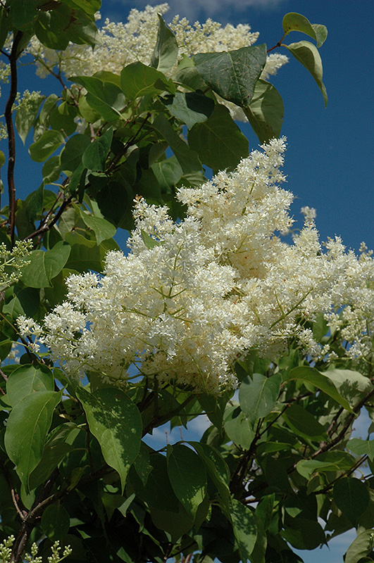 Ivory Silk Tree Lilac Form Syringa Reticulata