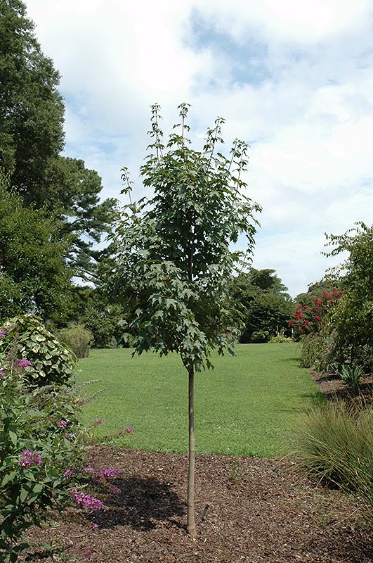 Highland Park Bigtooth Maple Acer Grandidentatum 39 Hipazam
