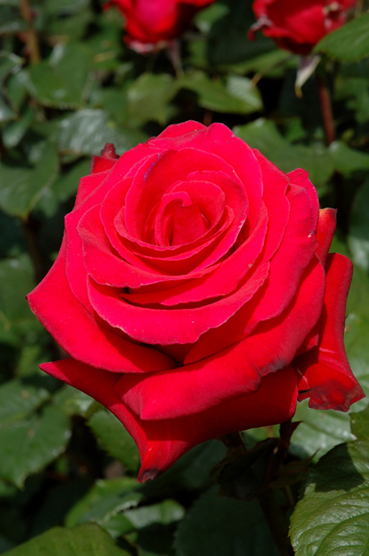 Let Freedom Ring Rose Rosa Let Freedom Ring In Denver