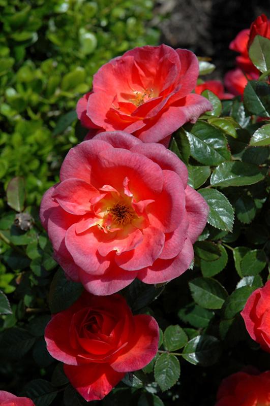 Smoke Rings Rose (Rosa U0027WEKsaclaegou0027) At Echteru0027s Nursery U0026 Garden Center