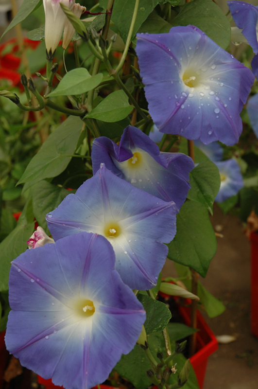 Heavenly Blue Morning Glory Ipomoea Tricolor 39 Heavenly