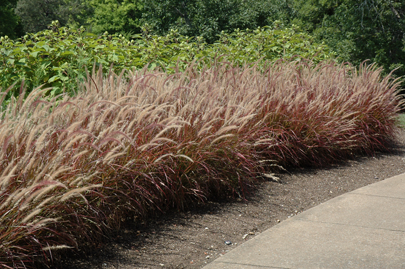 Ornamental Grasses Colorado Purple fountain grass pennisetum setaceum rubrum in denver purple fountain grass pennisetum setaceum rubrum at echters nursery garden center workwithnaturefo