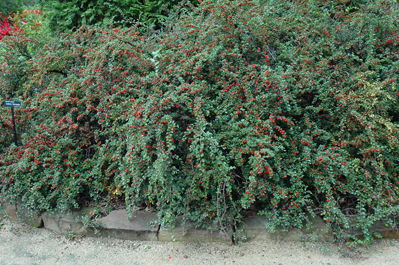 Cranberry Cotoneaster Cotoneaster Apiculatus In Denver