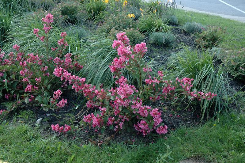 Sonic Bloom Pink Reblooming Weigela Weigela Florida