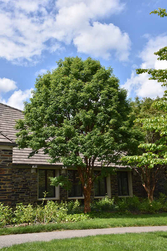 Paperbark Maple Acer Griseum In Denver Arvada Wheat