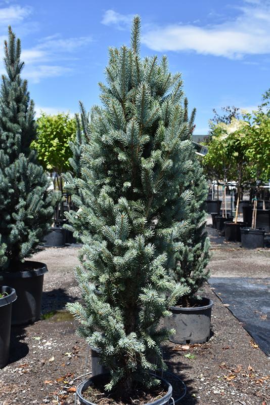 Blue Totem Spruce Picea Pungens Blue Totem In Denver