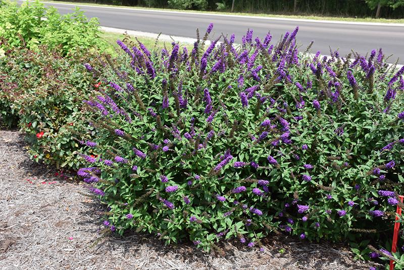 Chalet Nursery And Garden Center: Miss Violet Butterfly Bush (Buddleia 'Miss Violet') In