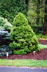 Dwarf Alberta Spruce (Picea glauca 'Conica') at Echter's Nursery & Garden Center