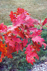 Red Oak (Quercus rubra) at Echter's Nursery & Garden Center
