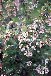 Black Chokeberry (Aronia melanocarpa) at Echter's Nursery & Garden Center