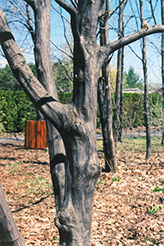 American Hornbeam (Carpinus caroliniana) at Echter's Nursery & Garden Center