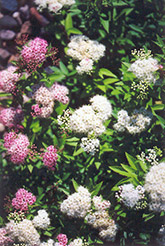 Shirobana Spirea (Spiraea japonica 'Shirobana') at Echter's Nursery & Garden Center