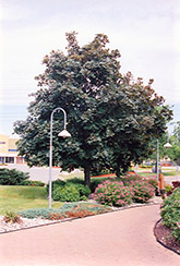 Deborah Norway Maple (Acer platanoides 'Deborah') at Echter's Nursery & Garden Center