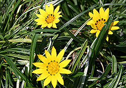 Colorado Gold Gazania (Gazania linearis 'Colorado Gold') at Echter's Nursery & Garden Center